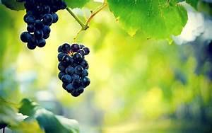 Nature, Plants, Photography, Leaves, Vines, Grapes, Vine, Leaves, Macro, Wallpapers, Hd, Desktop