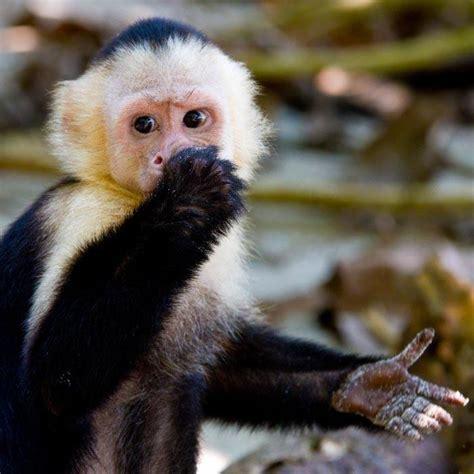 capuchin monkey capuchin monkey animals pinterest