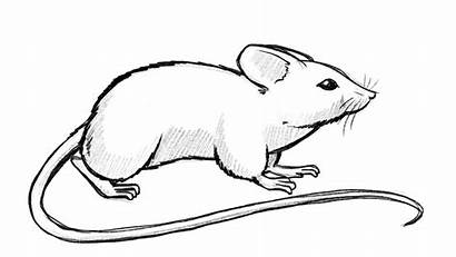 Mouse Draw Simple Shapes Maus Exercise Drawing