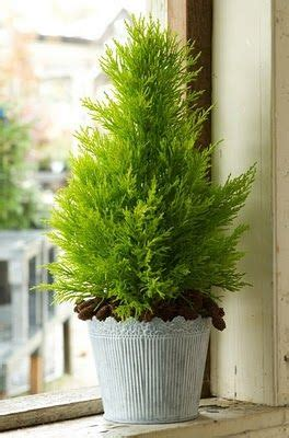 cypress trees in pots lemon cypress tree delightful lemon scent when you rub the foliage great small evergreen for a