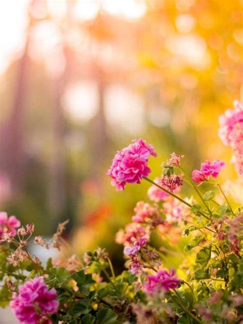 stock photo  flowers garden pink bloom hd