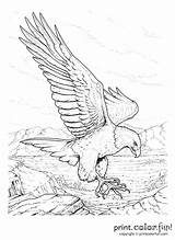 Coloring Pages Rush Gold Memorial California Adult Drawing Drawings Eagle Colouring Adults Older Sketches Sheets Bald Printable Books Getdrawings Bird sketch template