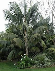 Full size picture of Kentia Palm, Sentry Palm, Paradise ...