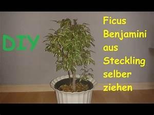 Ficus Benjamini Vermehren : ficus benjamini benjamina selber ziehen pflanze ~ Lizthompson.info Haus und Dekorationen