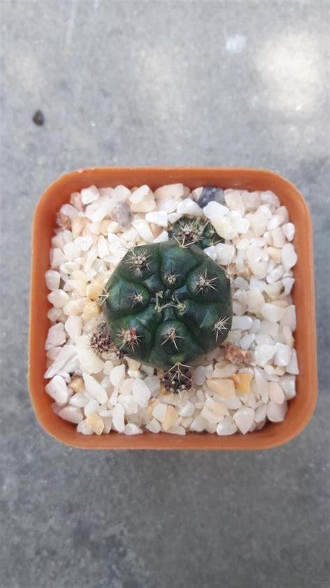 ขายต้นไม้ ยิมโนคาไลเซียม Gymnocalycium damsii ยิมโนแม่ลูกดก จากพ็อตด่าง โดยร้าน Cake cactus farm ...