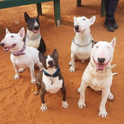 Bull Terrier Dogs Facts Personality Latest News About Miniature Bull Terrier