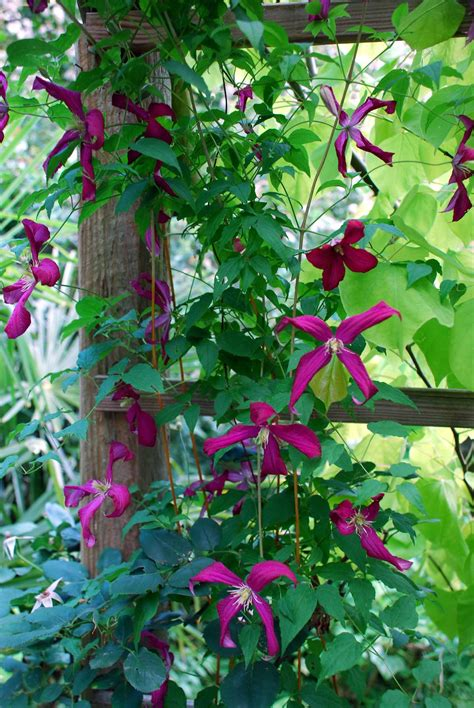 Flowering Vines, Climbers & Twiners  Flower Magazine