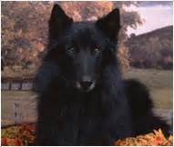 belgian sheepdog breed facts  personality traits