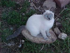 Blue Point Siamese Cat Ahwmsdai | ANIMAL ONLINE