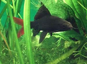 Fische Aquarium Hamburg : fische feuerschwanz fransenlipper epalzeorhynchos ~ Lizthompson.info Haus und Dekorationen
