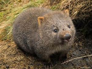 Cradle Mountain – Land of the Wombats! | The Missing Year