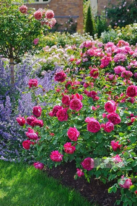 My Enchanting Cottage Garden How To Plant Bare Root Roses