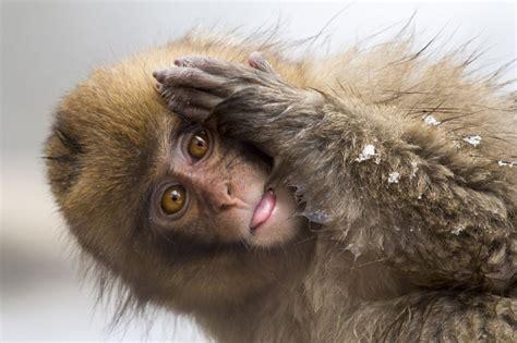 Smieklīgi foto: Pērtiķis ar īpaši stulbu sejas izteiksmi - Skats.lv