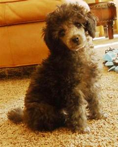 Cute Poodle Puppies - Puppy Pictures