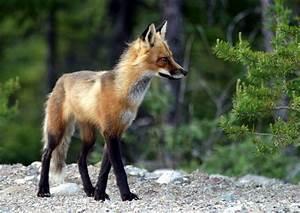 File:Adult fox.JPG - Wikipedia  Fox