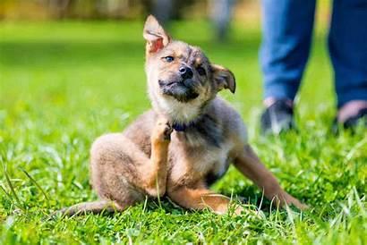 Dog Scratch Piele Caini Itchy Pet Skin