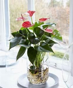 Anthurie Im Wasser : anthurie im wasser grid 2 love them pinterest pflanzen zimmerpflanzen und gr npflanzen ~ Yasmunasinghe.com Haus und Dekorationen
