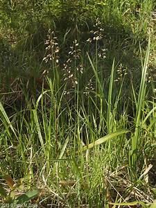 Anthoxanthum, Hirtum, Sweetgrass, Minnesota, Wildflowers
