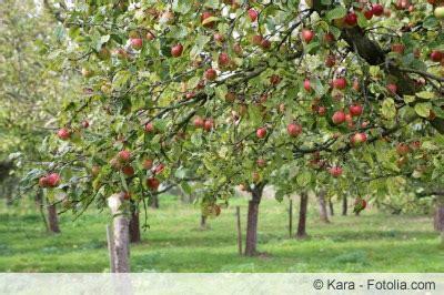 apfelbaum pflanzen wann welchen und wie