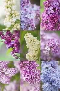 Flieder Schneiden Video : die besten 25 flieder ideen auf pinterest lila bl ten gemeiner flieder und lila blumen ~ Orissabook.com Haus und Dekorationen