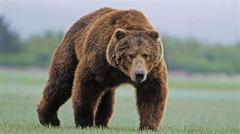 Медвежьи — википедия