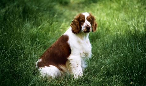 welsh springer spaniel dog breed information