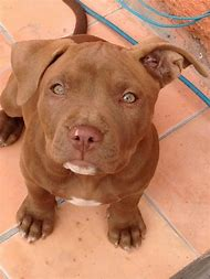Best Pitbull Ideas And Images On Bing Find What Youll Love