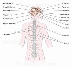 Nervous System Diagram Labeled - Anatomy Organ