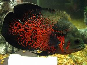 cichlids.com: red tiger oscar