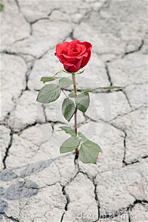 red rose  dry earth stock images image