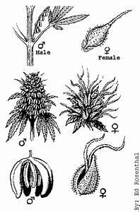 Determining The Sex Of Marijuana Male Or Female Marijuana