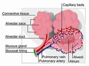 File Alveolus Diagram Svg