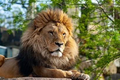 Animal Animals Wild Zoo Pixabay Really Lion