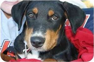 Jack | Adopted Puppy | Huntsville, AL | Black and Tan ...