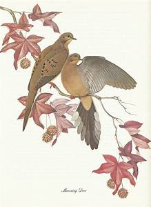 Mourning dove pair in a sweet gum tree. | Birds & Eggs ...
