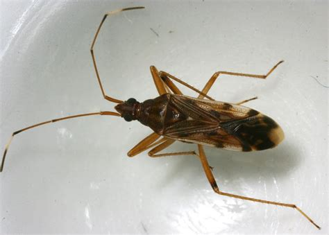Seed Bugs Common In Many Areas