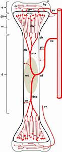 Diagram Depicting The Arterial Supply To A Growing Leg