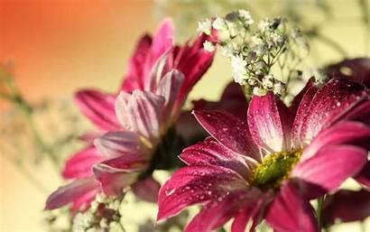 Daisy Flower Gerbera Pink Desktop Wallpapers Widescreen