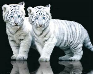 Funny Animals: Cute White Tiger Cubs