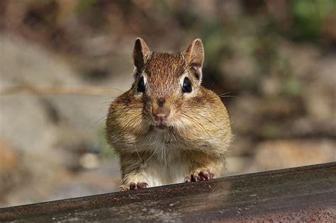 Wild Birds Unlimited How To Identify Baby Chipmunks