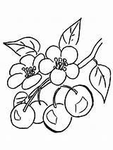 Coloring Cherry Pages Fruits Print Printable Berries sketch template