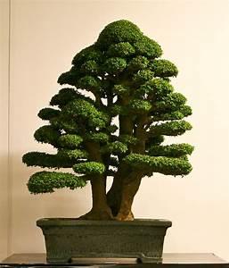Bonsai Baum Garten : 45 besten bonsai twin trunk sokan bilder auf pinterest ~ Lizthompson.info Haus und Dekorationen