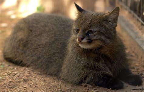 especies de gatos   conocias mundo gatos