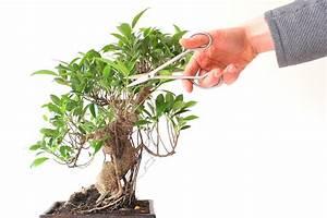 Comment Tailler Un Ficus : tailler un bonsa couper des branches pour former l arbre ~ Melissatoandfro.com Idées de Décoration