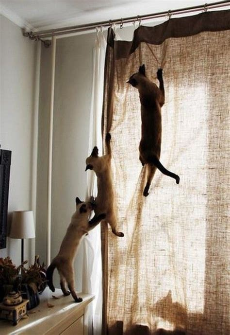 reasons for curtains 1 cat climbing oh behave