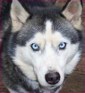Dog Breeds With Blue Eyes And White Fur | Simple Image Gallery
