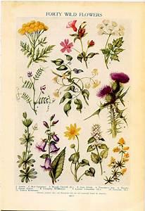 Vintage botanical prints forty wild flowers 1926 lithographs for framing wild flowers for Print from pinterest