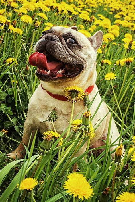 Royalty-Free photo: Fawn pug surrounded by yellow petaled ...