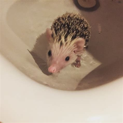 Heat L For Pygmy Hedgehog by 13 Week Pygmy With Cage And Heat Pad Welwyn