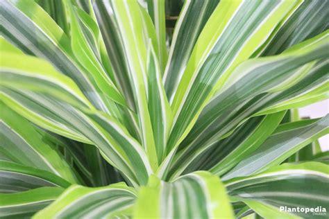 dracena marginata pflege drachenbaum dracaena marginata pflege und schneiden plantopedia